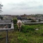 davit przegania krowę z cmenatrza w gruzji