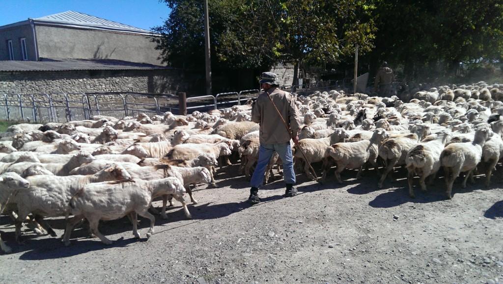 owce w gruzji