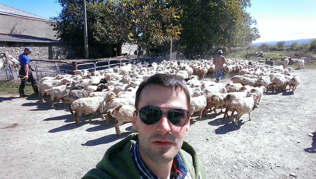 wypas owiec w gruzji