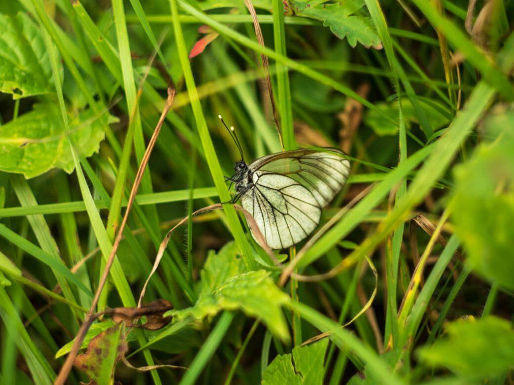 Racza-motyl