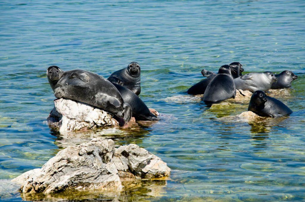 nerpy foki słodkowodne bajkał rosja