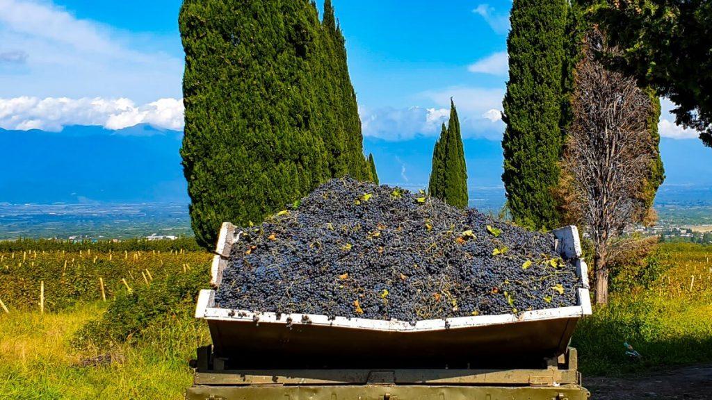 Wino w Gruzji winobranie rtveli