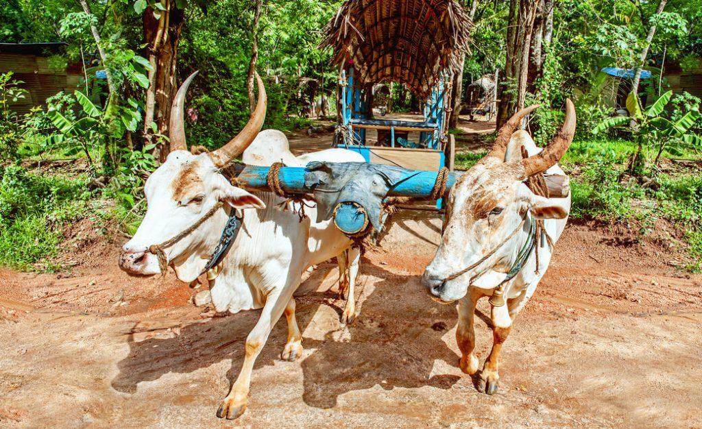 powóz z wołami Sri Lanka